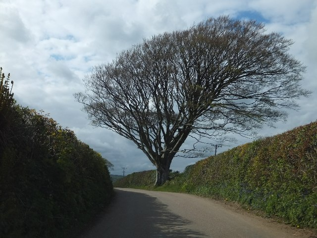 Tree beside the road to Harbourneford