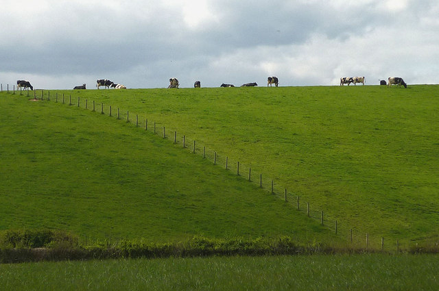 Cattle above Ninezergh