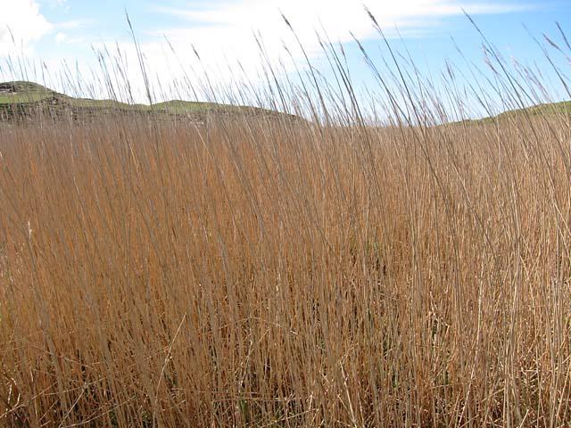 Reeds at the roadside