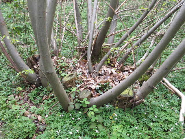 Coppiced chestnut tree with new growth