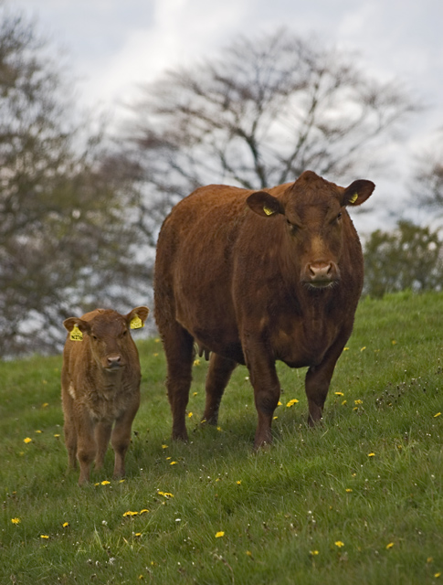 Cow and calf, near Great Givendale