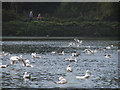 TQ8010 : Gulls bathing at Shornden Reservoir by Oast House Archive