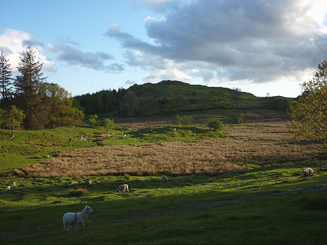 Sheep grazing by the Dales Way above Bowness
