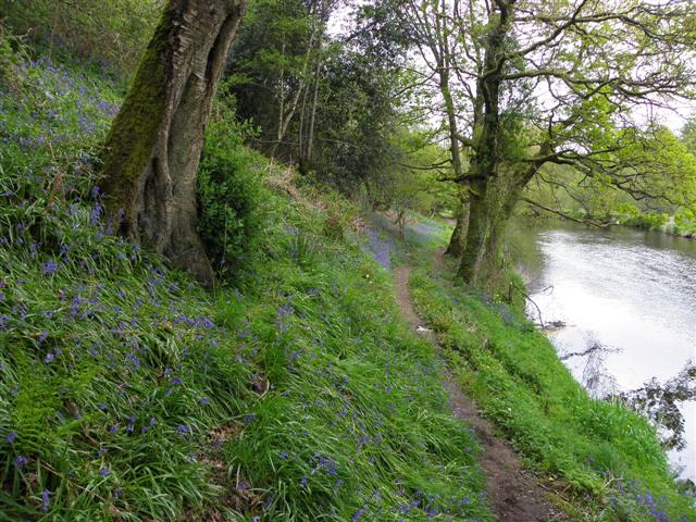 Bluebell covered bank, Riverside