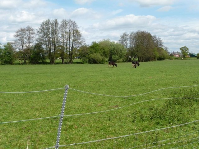 Cows grazing north of the railway embankment