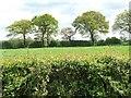SJ7375 : Trees along a field boundary by Christine Johnstone