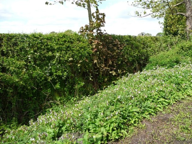 Large patch of wildflowers in the hedgerow