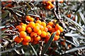 TF4987 : Sea buckthorn on the dunes by Steve Daniels