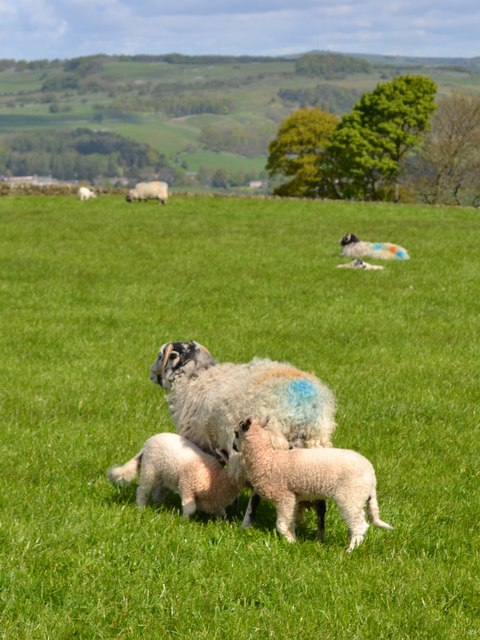 Ewe with lambs above Handley Bottom