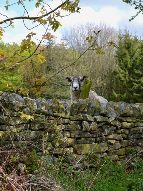 Inquisitive sheep near Edensor
