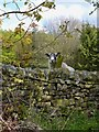 SK2469 : Inquisitive sheep near Edensor by Neil Theasby