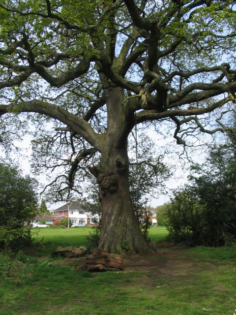 Oak tree by Tutbury Avenue