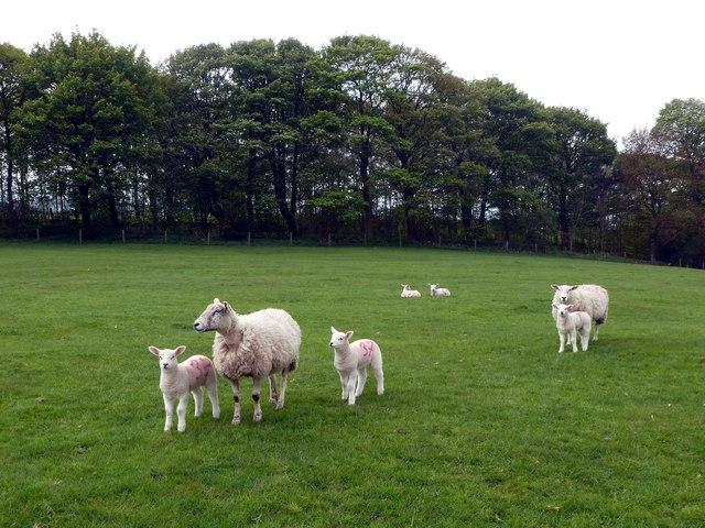 Friendly sheep below Dirtlow Plantation