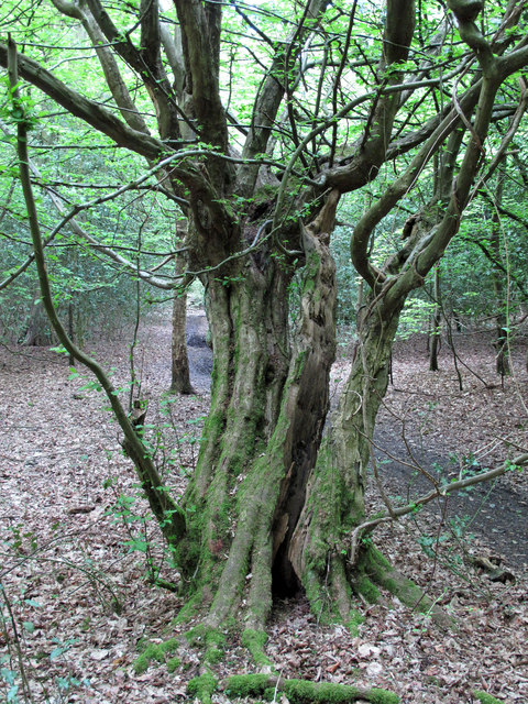 Moss on hornbeam with split trunk