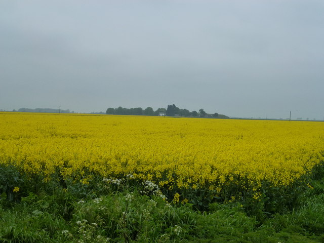 Field of rape to the east of Newborough