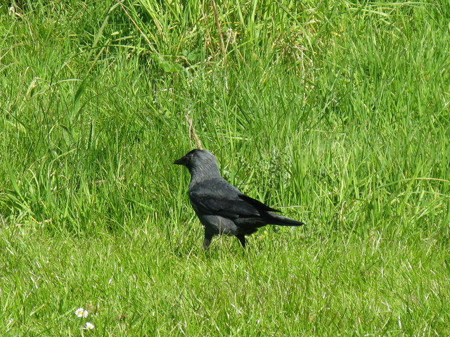 Jackdaw in Braidburn Valley Park