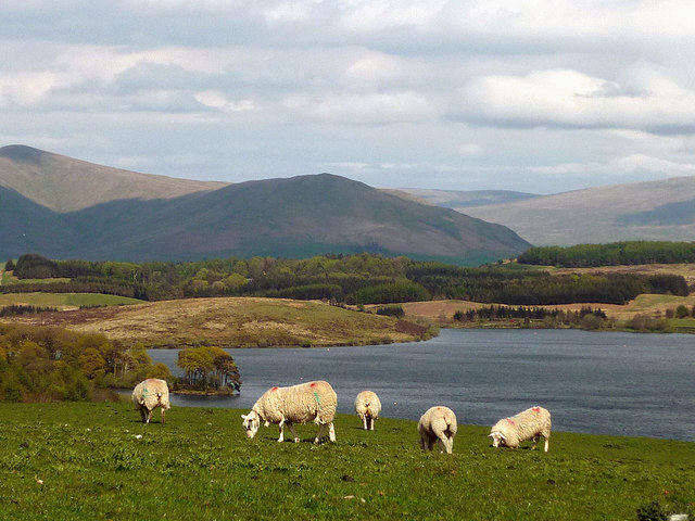 Sheep above Killington Reservoir
