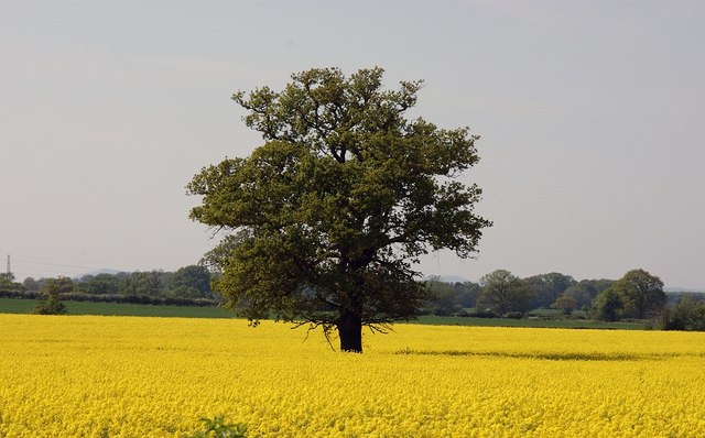Tree and Oil Seed Rape near Bredicot