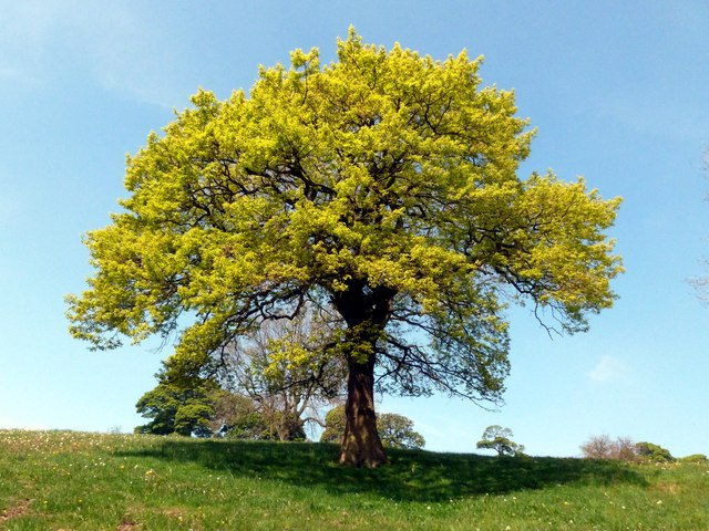 Oak tree near Cloughhead