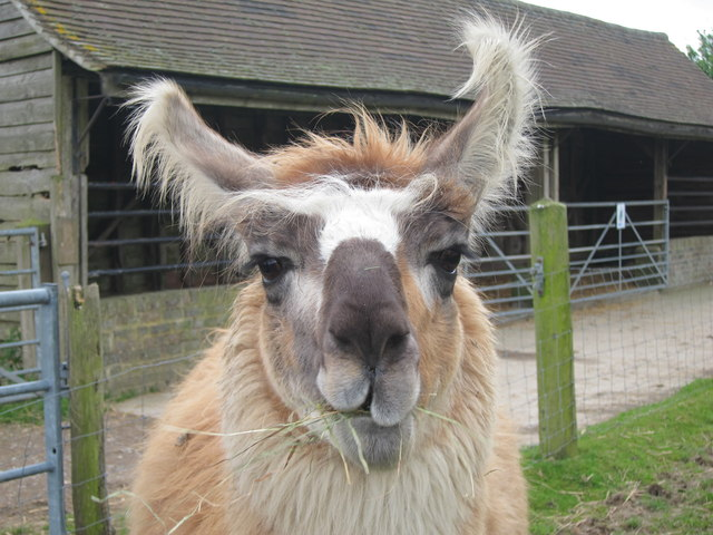 Llama at Ashdown Llama Park