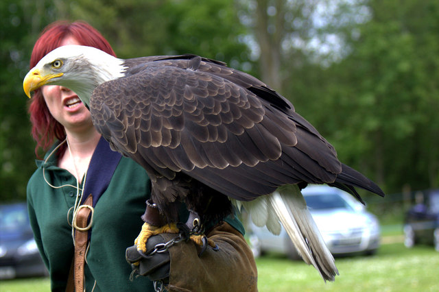 Bald Eagle with Handler, Long Sutton Falconry Centre, Lincolnshire