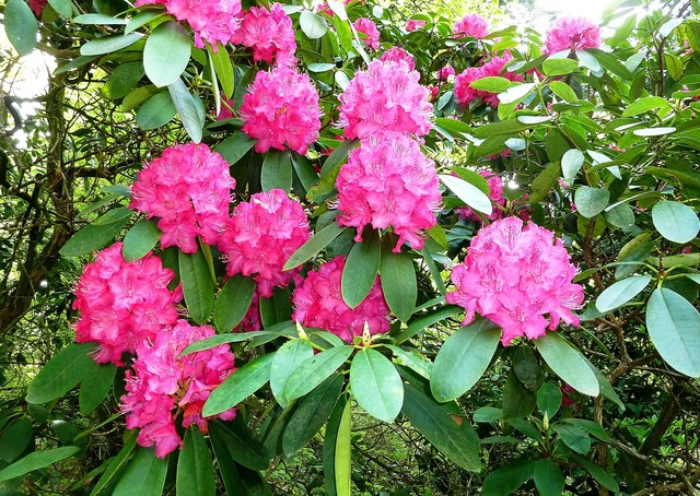 Rhododendrons at Bargany Estate