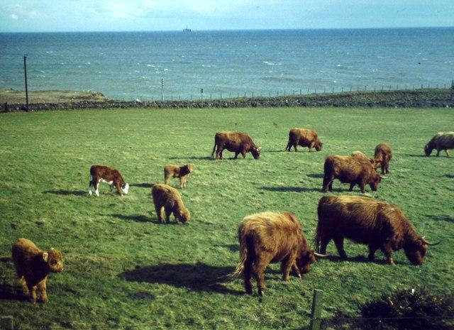 Highland Cattle, Doonies