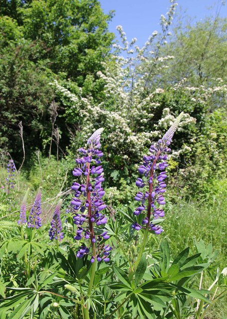 Lupins by the River Rea