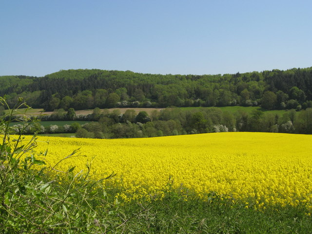 Field of rapeseed before the Suckley Hills
