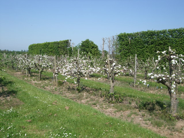 Apple Blossom - Brogdale Farm