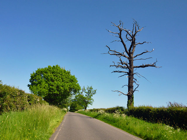 Dead tree by the lane
