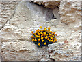 TF6742 : Wallflowers on Chalk Cliff, Hunstanton, Norfolk by Christine Matthews