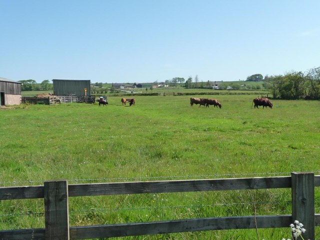 Cattle grazing at Bottom House