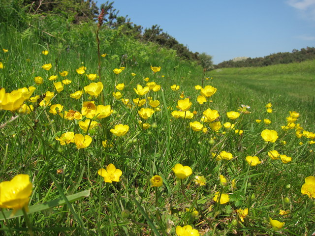 Buttercups near Seaford Golf Course