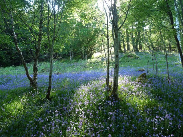 Bluebell woods by Lock Eck
