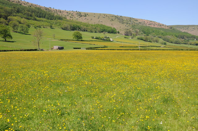 Buttercups in the Vale of Ewyas