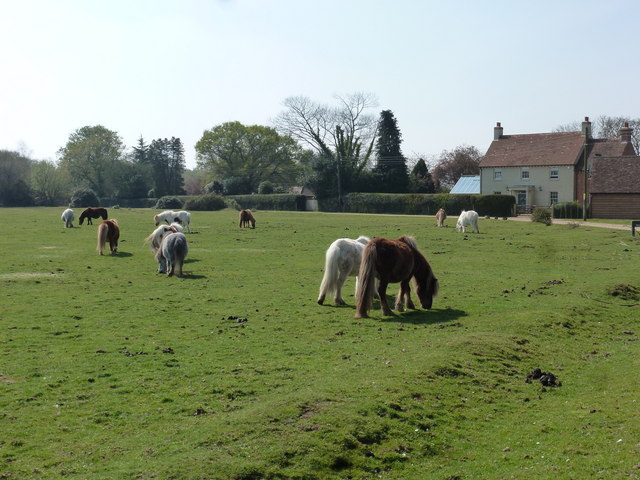 Fritham: Shetland ponies graze