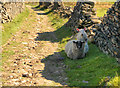 SD9613 : Sheep on the Rochdale Way by David Dixon