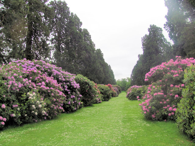 Wellingtonia Avenue with Rhododendrons, Ashridge House