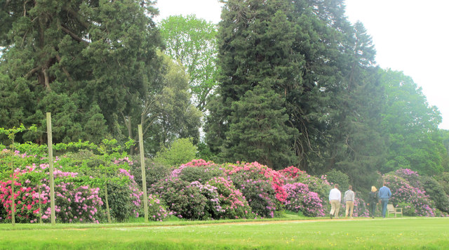 Rhododendrons on the side of the Moat, Ashridge House.