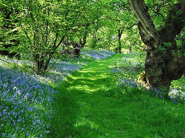 Lochwood Bluebells