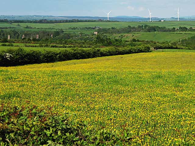 A field of buttercups near Glassford