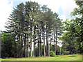 SP9911 : A Clump of Fir Trees in the Gardens at Ashridge House by Chris Reynolds