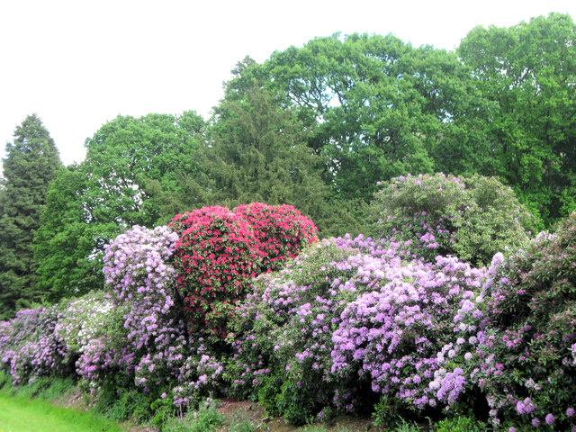 Rhododendrons on the edge of the Moat, Ashridge House