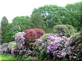 SP9911 : Rhododendrons on the edge of the Moat, Ashridge House by Chris Reynolds