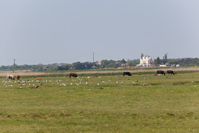 Cattle and seagulls on Robinson's Marshes