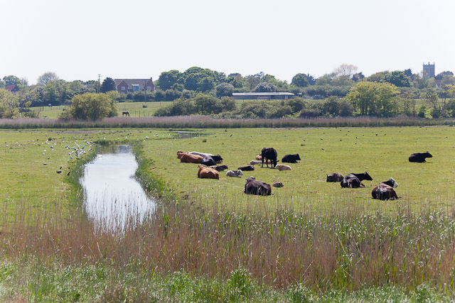 Cattle grazing at Walberswick