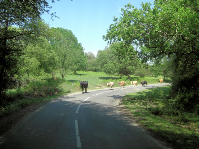 Cattle at Bramble Hill