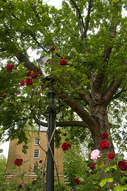 Street lamp entwined with roses, Gray's Inn Gardens