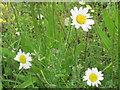 SP9314 : Ox-eye Daisy in Cornfield at College Lake by Chris Reynolds